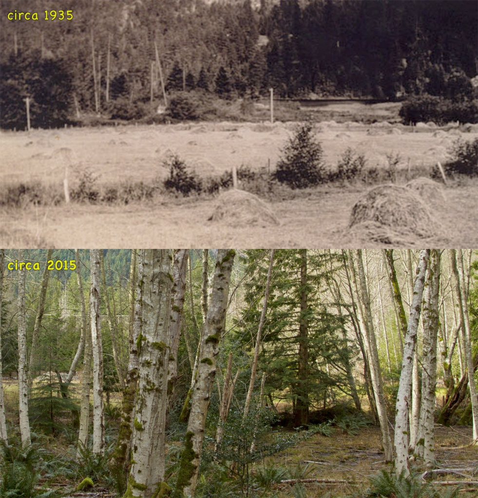 Two photos - one from the 1930 shows an old hayfield with Grafton Lake in the distance, the other from this year, showing the same angle and all the alders that have grown up over the years.